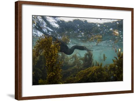 Flightless Cormorant Underwater Galapagos Islands, Ecuador-Pete Oxford-Framed Art Print