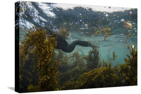 Flightless Cormorant Underwater Galapagos Islands, Ecuador-Pete Oxford-Stretched Canvas Print