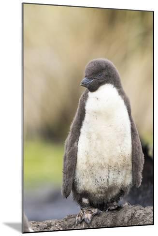 Rockhopper Penguin Chick. Falkland Islands-Martin Zwick-Mounted Photographic Print