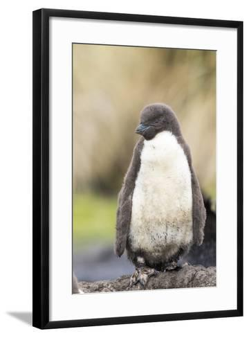 Rockhopper Penguin Chick. Falkland Islands-Martin Zwick-Framed Art Print