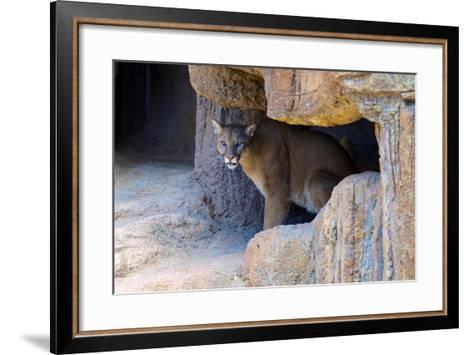 Mountain Lion. Captive, Arizona, Sonoran Desert Museum-Richard Wright-Framed Art Print