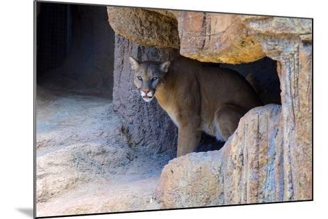 Mountain Lion. Captive, Arizona, Sonoran Desert Museum-Richard Wright-Mounted Photographic Print