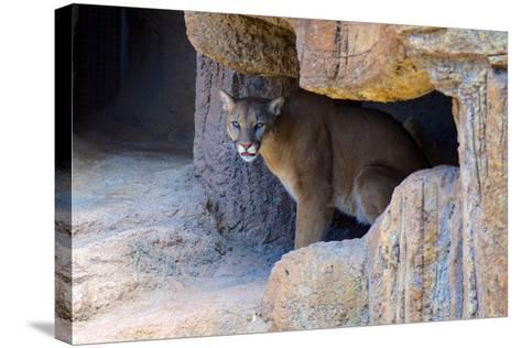 Mountain Lion. Captive, Arizona, Sonoran Desert Museum-Richard Wright-Stretched Canvas Print