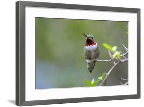A Ruby-Throated Hummingbird, One of the Most Common of the Hummers-Richard Wright-Framed Art Print