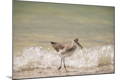 This Willet Has His Next Meal-Sheila Haddad-Mounted Photographic Print