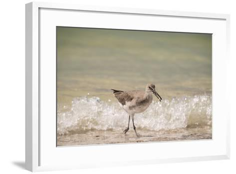 This Willet Has His Next Meal-Sheila Haddad-Framed Art Print