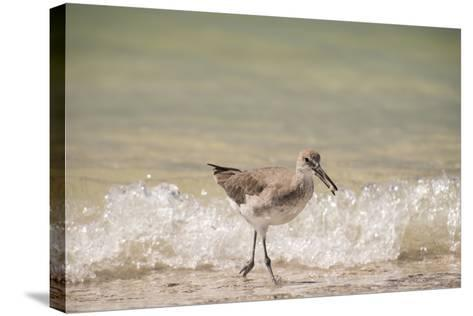 This Willet Has His Next Meal-Sheila Haddad-Stretched Canvas Print