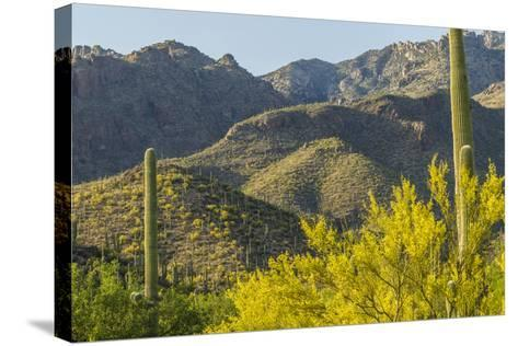 Arizona, Coronado NF. Saguaro Cactus and Blooming Palo Verde Trees-Cathy & Gordon Illg-Stretched Canvas Print