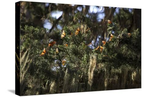 California. Monarch Butterflies at Monarch Grove Butterfly Sanctuary-Kymri Wilt-Stretched Canvas Print