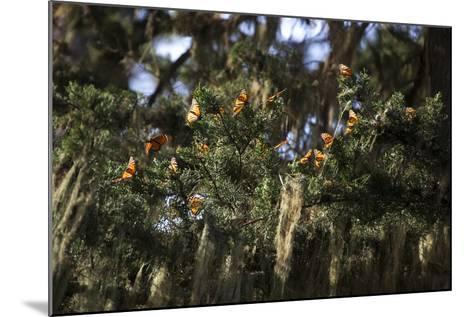 California. Monarch Butterflies at Monarch Grove Butterfly Sanctuary-Kymri Wilt-Mounted Photographic Print
