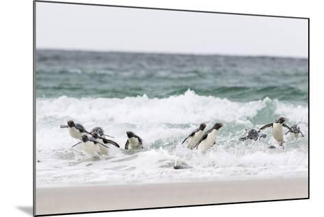Rockhopper Penguin. Landing as a Group to Give Individuals Safety-Martin Zwick-Mounted Photographic Print