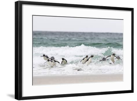 Rockhopper Penguin. Landing as a Group to Give Individuals Safety-Martin Zwick-Framed Art Print