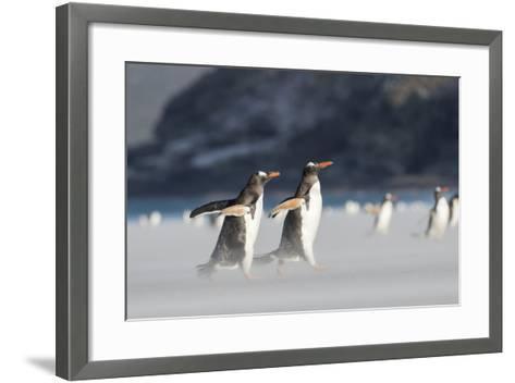 Gentoo Penguin Walking to their Rookery, Falkland Islands-Martin Zwick-Framed Art Print