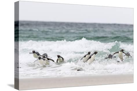 Rockhopper Penguin. Landing as a Group to Give Individuals Safety-Martin Zwick-Stretched Canvas Print