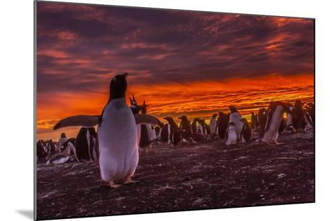 Falkland Islands, Sea Lion Island. Gentoo Penguin Colony at Sunset-Cathy & Gordon Illg-Mounted Photographic Print