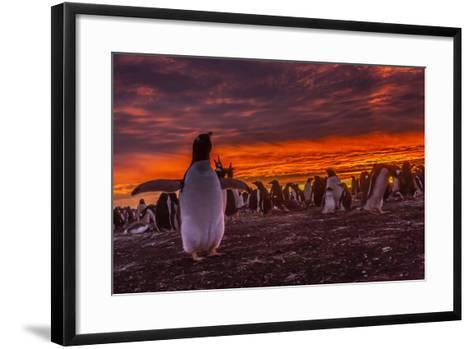 Falkland Islands, Sea Lion Island. Gentoo Penguin Colony at Sunset-Cathy & Gordon Illg-Framed Art Print