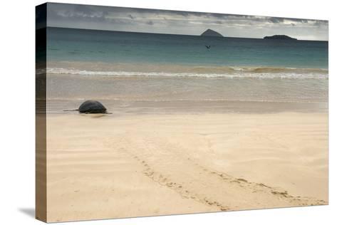 Galapagos Green Turtle Nesting. Floreana Island, Galapagos, Ecuador-Pete Oxford-Stretched Canvas Print