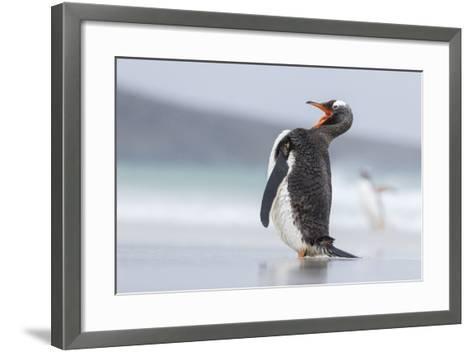 Gentoo Penguin (Pygoscelis Papua) on the Falkland Islands-Martin Zwick-Framed Art Print