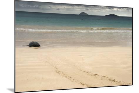Galapagos Green Turtle Nesting. Floreana Island, Galapagos, Ecuador-Pete Oxford-Mounted Photographic Print