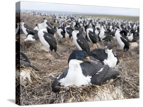 Imperial Shag also Called King Shag in a Huge Rookery-Martin Zwick-Stretched Canvas Print