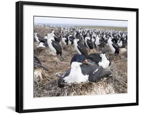 Imperial Shag also Called King Shag in a Huge Rookery-Martin Zwick-Framed Art Print