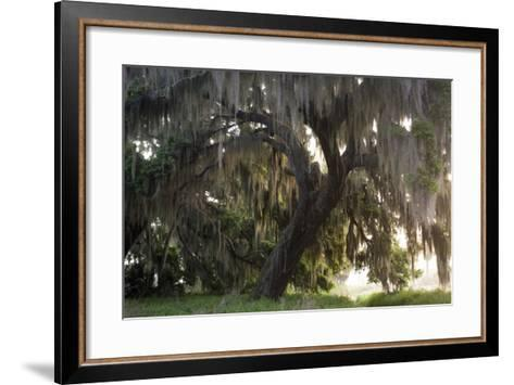 Morning Light Illuminating the Moss Covered Oak Trees in Florida-Sheila Haddad-Framed Art Print