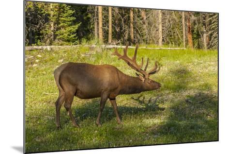 USA, Colorado, Rocky Mountain National Park. Bull Elk in Field-Cathy & Gordon Illg-Mounted Photographic Print