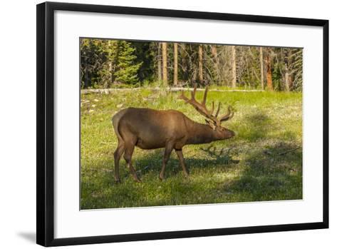 USA, Colorado, Rocky Mountain National Park. Bull Elk in Field-Cathy & Gordon Illg-Framed Art Print