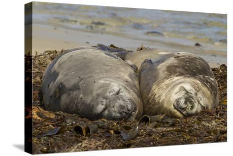 Falkland Islands, Carcass Island. Southern Elephant Seals, Sleeping-Cathy & Gordon Illg-Stretched Canvas Print