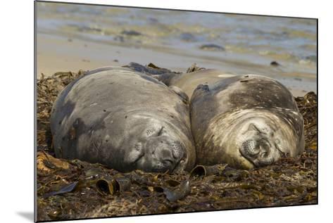 Falkland Islands, Carcass Island. Southern Elephant Seals, Sleeping-Cathy & Gordon Illg-Mounted Photographic Print