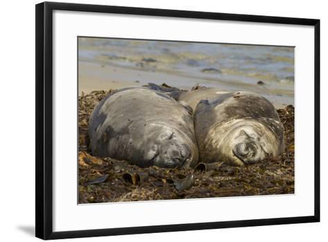 Falkland Islands, Carcass Island. Southern Elephant Seals, Sleeping-Cathy & Gordon Illg-Framed Art Print