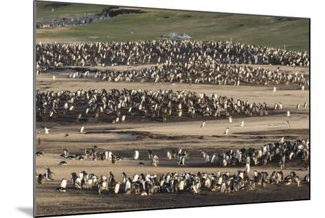 Gentoo Penguin (Pygoscelis Papua) on the Falkland Islands, Rookery-Martin Zwick-Mounted Photographic Print