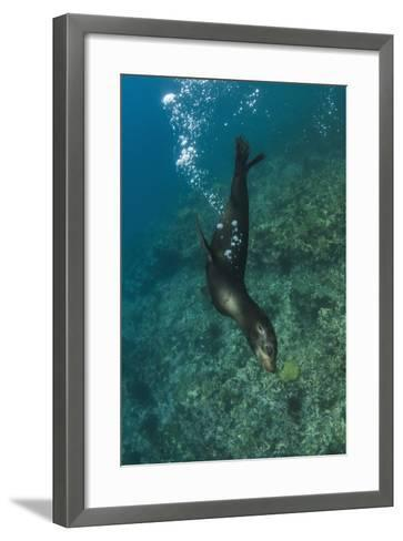 Galapagos Sea Lion Underwater, Galapagos, Ecuador-Pete Oxford-Framed Art Print
