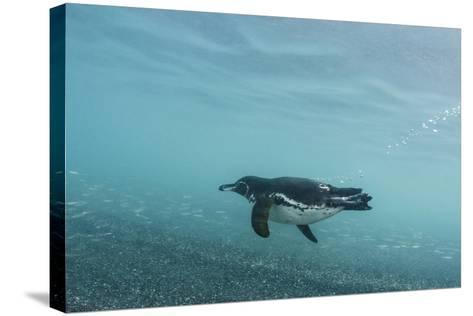 Galapagos Penguin (Spheniscus Mendiculus) Galapagos Islands, Ecuador-Pete Oxford-Stretched Canvas Print