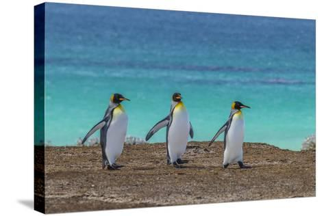 Falkland Islands, East Falkland. King Penguins Walking-Cathy & Gordon Illg-Stretched Canvas Print