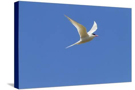 Falkland Islands, Bleaker Island. South American Tern in Flight-Cathy & Gordon Illg-Stretched Canvas Print