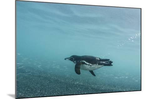 Galapagos Penguin (Spheniscus Mendiculus) Galapagos Islands, Ecuador-Pete Oxford-Mounted Photographic Print