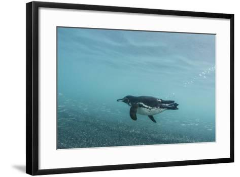 Galapagos Penguin (Spheniscus Mendiculus) Galapagos Islands, Ecuador-Pete Oxford-Framed Art Print