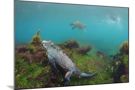 Marine Iguana Underwater, Fernandina Island, Galapagos, Ecuador-Pete Oxford-Mounted Photographic Print