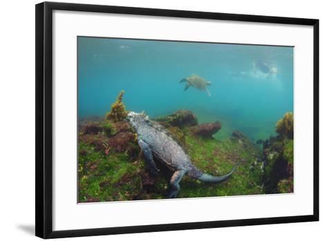 Marine Iguana Underwater, Fernandina Island, Galapagos, Ecuador-Pete Oxford-Framed Art Print