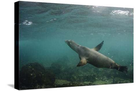 Galapagos Sea Lion Underwater, Galapagos, Ecuador-Pete Oxford-Stretched Canvas Print