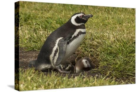 Falkland Islands, Sea Lion Island. Magellanic Penguin and Chicks-Cathy & Gordon Illg-Stretched Canvas Print
