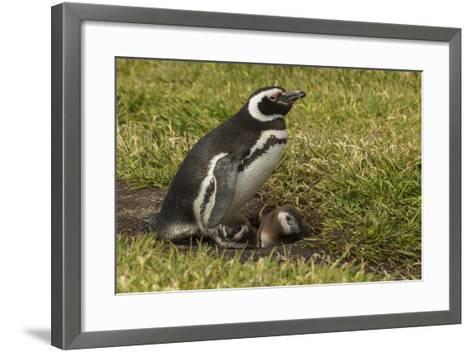 Falkland Islands, Sea Lion Island. Magellanic Penguin and Chicks-Cathy & Gordon Illg-Framed Art Print