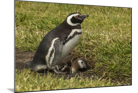 Falkland Islands, Sea Lion Island. Magellanic Penguin and Chicks-Cathy & Gordon Illg-Mounted Photographic Print