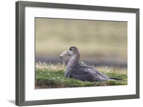 Southern Giant Petrel (Macronectes Giganteus), on the Falkland Islands-Martin Zwick-Framed Art Print