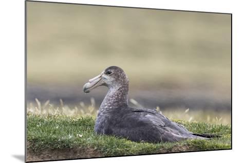 Southern Giant Petrel (Macronectes Giganteus), on the Falkland Islands-Martin Zwick-Mounted Photographic Print