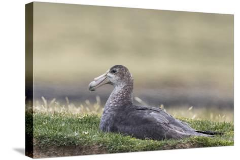 Southern Giant Petrel (Macronectes Giganteus), on the Falkland Islands-Martin Zwick-Stretched Canvas Print