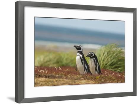 Falkland Islands, Sea Lion Island. Two Magellanic Penguins-Cathy & Gordon Illg-Framed Art Print