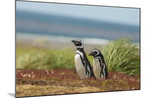 Falkland Islands, Sea Lion Island. Two Magellanic Penguins-Cathy & Gordon Illg-Mounted Photographic Print