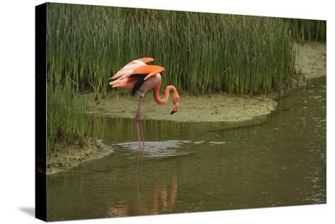 Greater Flamingo, Punta Moreno Isabela Island, Galapagos, Ecuador-Pete Oxford-Stretched Canvas Print